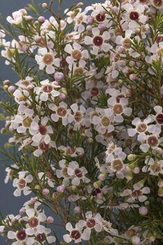 Chinchilla Waxflower - Obra Verde Growers 6x8