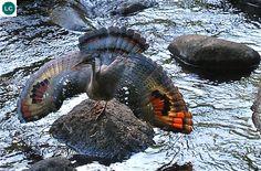 https://www.facebook.com/WonderBirdSpecies/ Sunbittern (Eurypyga helias); Central and South America: from Guatemala to southern Peru; IUCN Red List of Threatened Species 3.1 : Least Concern (LC)(Loài ít quan tâm) || Vạc Sunbittern; Trung và Nam Mỹ: từ Guatemala đến phía nam Peru; Họ đơn loài EURYPYGIDAE (Sunbitterns).