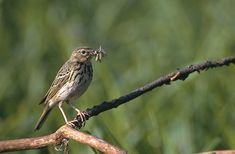 Tree Pipit, Anthus trivialis, is a small passerine bird which breeds across most of Europe and temperate western and central Asia. It is a long-distance migrant moving in winter to Africa and southern Asia. Like Animals, Central Asia, Bird Watching, South America, Birds, Portugal, Long Distance, Southern, Africa