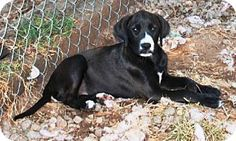 Trenton, NJ - Labrador Retriever/Boxer Mix. Meet ANDREW, a puppy for adoption. http://www.adoptapet.com/pet/11694638-trenton-new-jersey-labrador-retriever-mix