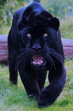 Here kitty, kitty. I would love to pet this Panther, just once!