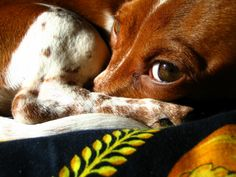 .every doxie owner knows that look well.