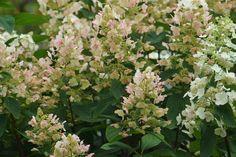 "Hydrangea Paniculata ""Butterfly"" (vlinderhortensia) - Sony A65 + Tair 11A 135mm f/2.8"