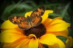 Fill your garden with flowers that attract butterflies and hummingbirds from summer into fall. Hummingbird Flowers, Hummingbird Garden, Butterfly Flowers, Beautiful Butterflies, Beautiful Flowers, Sun Flowers, Butterfly Painting, Blooming Flowers, Flowers That Attract Hummingbirds