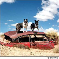 Abandoned car has been taken over by abandoned dogs...