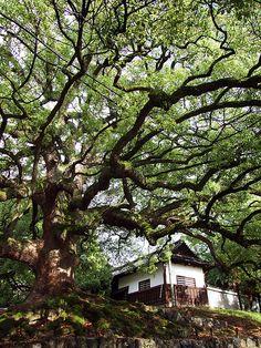 Camphor tree - Kyoto, Japan