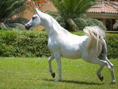 Jood Alkharafi (Ajmal Sinan X Riufeya-Adel-Rola) 2006 grey SE stallion bred by Al Kharafi Stud, Saudia Arabia - Strain: Dahmah Shahwanieh, Sabah Line, Kamar Family