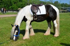 The Gypsy Horse (also known as the Gypsy Cob, Coloured Cob, Gypsy Vanner, Irish Cob, and Tinker Horse) was originally developed by Romanichal peoples native to the British Isles. It is a small draught breed, with abundant leg feathering and most commonly black and white coat color.