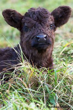 Galloway Rind - Junges Kalb - Bild & Foto von Matthias Wilharm aus Nutztiere - Fotografie (22681215)   fotocommunity