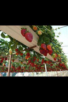 Strawberry hanging garden