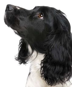 English Springer Spaniel - very dark face for a SS