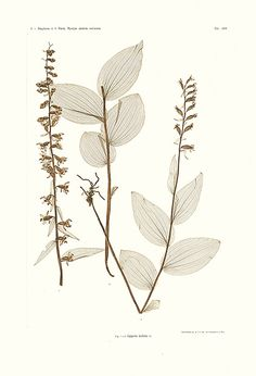 Constantin Ettingshausen, Alois Pokorny Nature Printed prints 1858