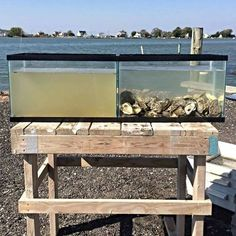 The water in each tank was taken from the same body of water at the same time.  The only difference is that one tank also contains oysters. A single adult oyster can filter and clean up to 50 gallons of water every day.