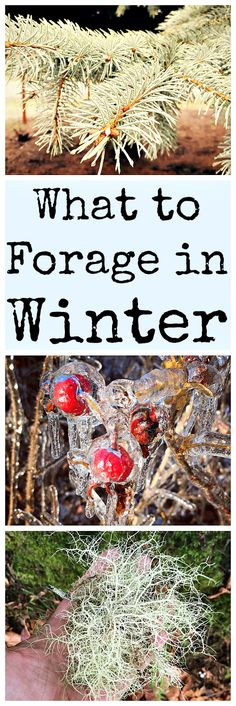 Forage in Winter: Edible and Medicinal Plants and Fungi There are many things to forage in winter! Here are over 30 edible and medicinal plants.There are many things to forage in winter! Here are over 30 edible and medicinal plants.
