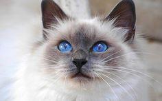 WEB LUXO - PETS - GATOS: O Siamês oficial é um gato ágil, divertido e muito ativo