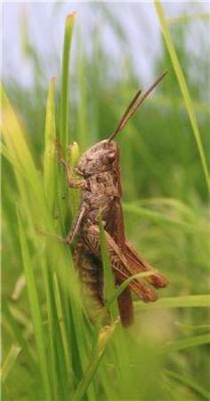 Duhe Grasshopper Modelo Solar Powered Locust Solar Powered Insects