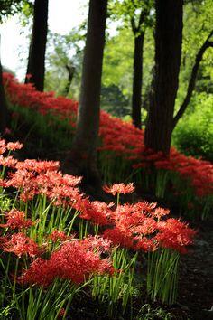 bluepueblo:      Spider Lily Forest, Japan