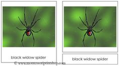 Spiders - Montessori 3-Part Classified Cards - Printable Montessori Materials for home and school.