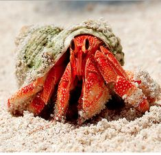 R = Red face Hermit crab
