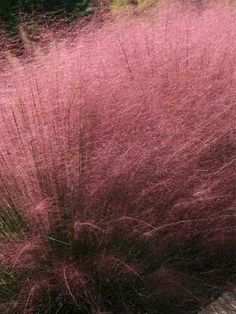 Muhlenbergia Pink Cloud - full sun; deer resistant; Spectacular cottony clouds of pink flower panicles bestow delicate softness in your autumn garden. Plant in large drifts as the billowing fountain of pink creates a dream-like effect. Truly breathtaking! Known for its tolerance to humidity, drought and poor soils. A North American native.  Birds love the seeds of Muhlenbergia Pink Cloud. Extremely adaptable and low maintenance. Perfect for slopes. Beautiful for flower arrangements too.