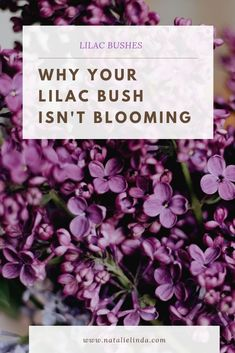There could be a few reasons your lilac bush isn't blooming the way you expected. Learn what those things are and what you can do about it with this simply guide!