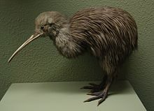 kiwi vogel - Google zoeken
