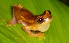 Upper Amazon treefrog, (Dendropsophus bifurcus), by Ecuador Megadiverso on Flickr (cc)