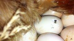 provjera gnijezda ispod kvocke: pocinje izlaziti drugi pilic