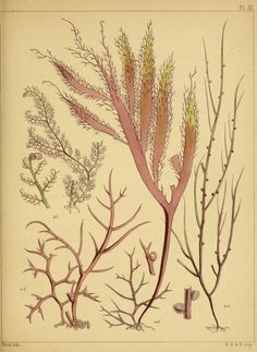 A popular history of British sea-weeds, - Biodiversity Heritage Library