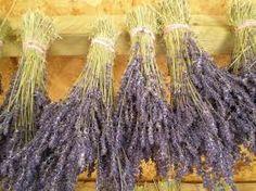 dried lavender. scent