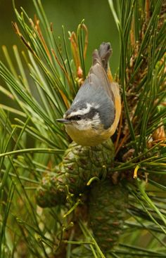 http://www.audubonmagazine.org/multimedia/2013-photo-awards-top-100   Red-breasted nuthatch, by Courtney Moore