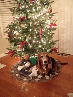 #christmas #basset - reminds me of our corgi mix squishing his chunky body under the tree