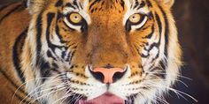 Help save India's tigers, elephants and leopards from palm o... - Care2 News Network