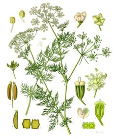 Anise, or aniseed, is a pretty, easy to grow flowering herb with a distinctive odor and a boot-load of benefits. Sowing anise in your herb garden will give you a tall, leafy plant that bears beauti...
