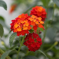 Thrives with little moisture and in full, unyielding sun. Lantana produces an abundance of brightly colored flowers all summer and fall, and it's a magnet for butterflies and hummingbirds like it, too.