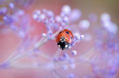 #ladybird #marienkäfer