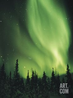 The Aurora Borealis Shimmers in the Sky Above Silhouetted Evergreeens Photographic Print by Norbert Rosing at eu.art.com