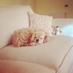 #american #cocker #spaniel #cute #dog #DJ