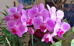 """Phalaenopsis, pink with a red lip, unknown variety, may give this the garden name """"Beautiful Dreamer"""" because the color is such a dreamy combination of pink with pale center."""