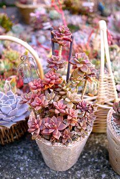 Succulents  15032817.jpg