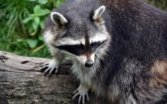 https://flic.kr/p/YTJPga | Raccoon (Procyon lotor) | The Raccoon (Procyon lotor) is a nocturnal and omnivorous mammal species with a wide distribution in North and Central America (Mammalia: Carnivora: Procyonidae).  Heidelberg Zoological Garden