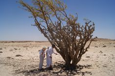 Albero dell'Incenso (Boswelia Sacra) - nel Dhofar - Oman