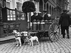 Working Dog Pulling Carts | Dog cart with milk canisters . Large terrier is probably a guard dog.