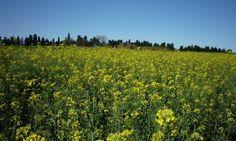 Alto potencial de rendimiento, calidad industrial y buen comportamiento a las principales enfermedades caracterizan al nuevo cultivar. Macacha INTA posee una amplia adaptación a diferentes regiones agroecológicas. En auge por los múltiples beneficios
