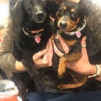 Greensboro Nc Dachshund Meet Hope A Pet For Adoption In 2020