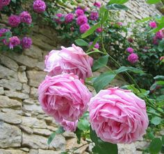 Rose 'Madame Gabriel Luizet' | Rose Ancienne Mme Caroline Testout Portlands Flowers Roses