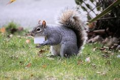 Squirrel eating a Dominos pizza...