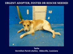 ***SUPER SUPER URGENT!!!*** - PLEASE SAVE ME!! - EU DATE: 7/30/2015 -- Tasha Breed:Terrier (mix breed) Age: Young adult Gender: Female Size: Medium Location: Kaplan, LA  Read more at http://www.dogsindanger.com/dog/1437618521282#SiiF5Z25UMzBAW3f.99 - If you have any questions please contact us at animalaidvermilion@gmail.com or (337) 366-0212 or visit our website animalaidvermilionarea.com for more information Read more at http://www.dogsindanger.com/dog/1437618521282#SiiF5Z25UMzBAW3f.99