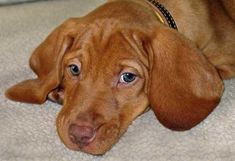 Vizsla - can't wait to own one of these little guys!