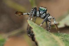 JOTUS REMUS SPIDER